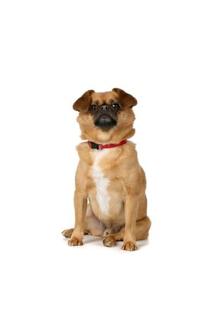 sit: small brown dog sitting on white background with red collar Stock Photo