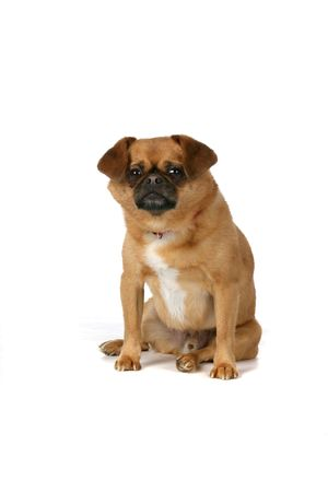 legs folded: cute brown dog with black nose sitting against high key background Stock Photo