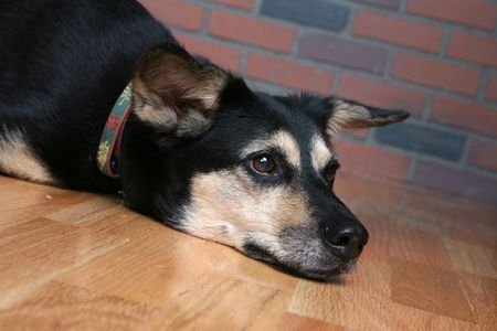 dog's head on wooden floor and looking depressed