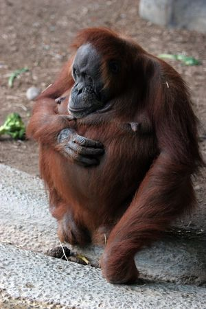 full length picture of a large, hairy orangutan