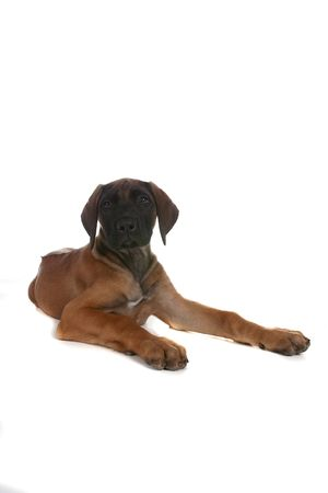 cute brown and black pure breed puppy on high key background Stock Photo - 4855131