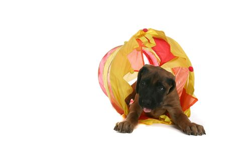small brown puppy crawling through a yellow tunnel