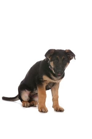 pure bred: cute tan and black pure breed puppy Stock Photo
