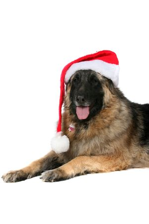 shephard: large dog wearing a santa hat