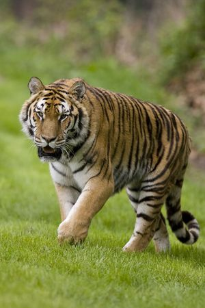 Tiger on the prowl Stock Photo - 4837530