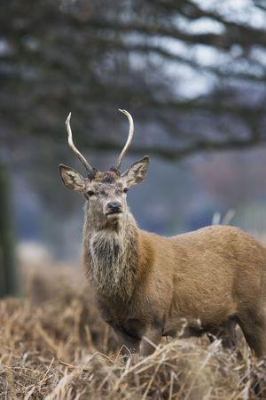 elk point: young red deer in bushey park