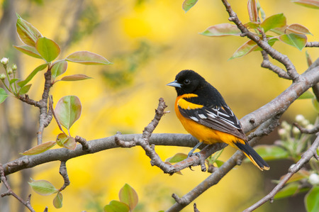 migrate: Baltimore Oriole Stock Photo
