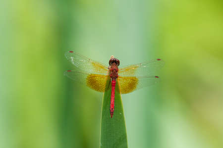 Band-winged Meadowhawk photo