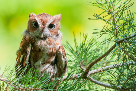 Eastern Screech Owl photo