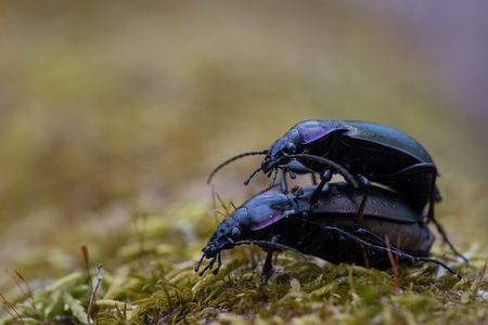 mating colors: European Ground Beetles