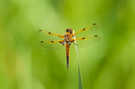 skimmer: Four-spotted Skimmer