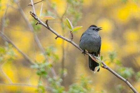 gray catbird: Gray Catbird Stock Photo