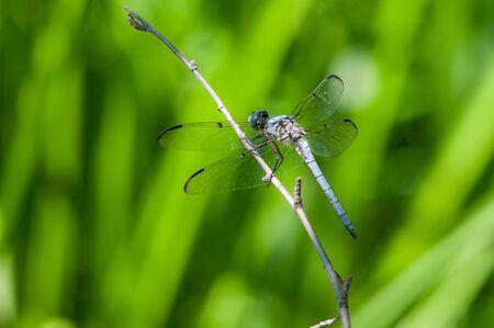 skimmer: Great Blue Skimmer
