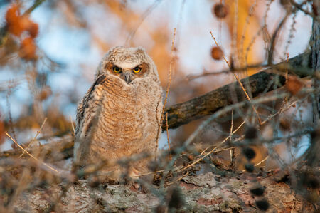 owlet: Great Horned Owlet Stock Photo