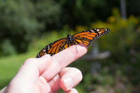 Monarch Butterfly Release Фото со стока