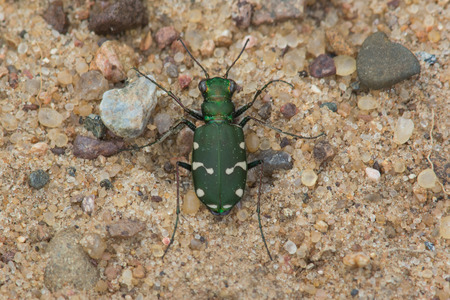 cicindela: Northern Barrens Tiger Beetle Stock Photo