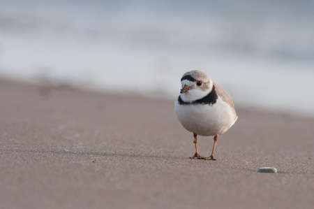 plover: Piping Plover