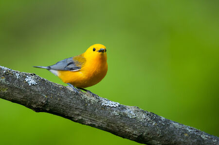warbler: Prothonotary Warbler