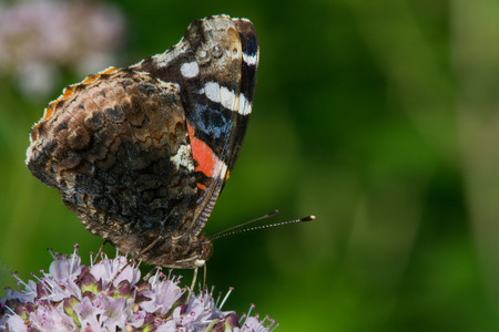 admiral: Red Admiral