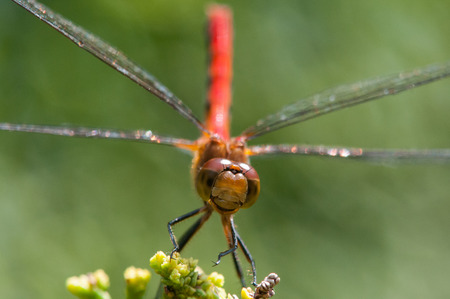 Ruby Meadowhawk photo