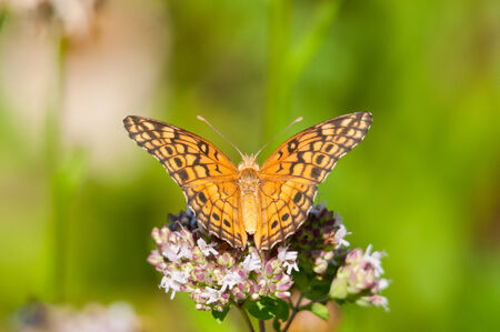 variegated: Variegated Fritallary Stock Photo