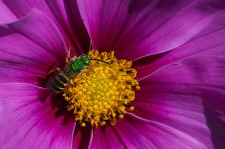 Metallic Green Sweat Bee Stock Photo