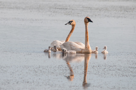 trumpeter swan: Trumpeter Swan Family