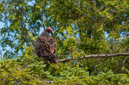 turkey vulture: Turkey Vulture Stock Photo
