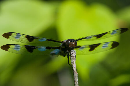 skimmer: Twelve-spotted Skimmer