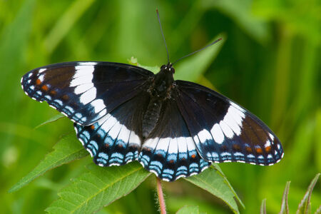 admiral: White Admiral butterfly