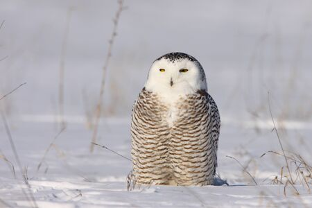 migrate: Snowy Owl Stock Photo