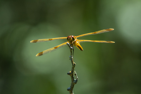 odonata: Painted Skimmer perched on a branch in a bog.