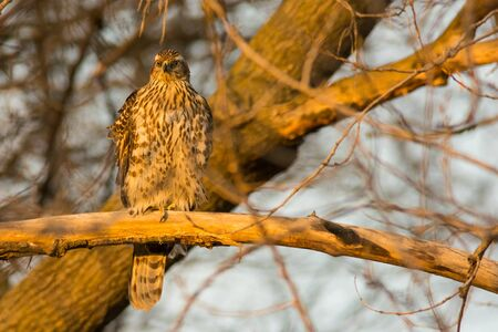 northern goshawk: Juvenile Northern Goshawk perched on a branch at the end of the day.