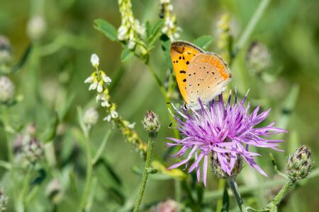 lycaena: Purplish Copper feeding from a wildflower in a meadow. Stock Photo