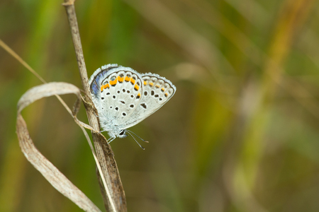color butterfly: Karner Melissa Blue butterfly perched on a stalk of grass. Stock Photo