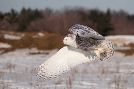 winter urban wildlife: Snowy Owl Stock Photo