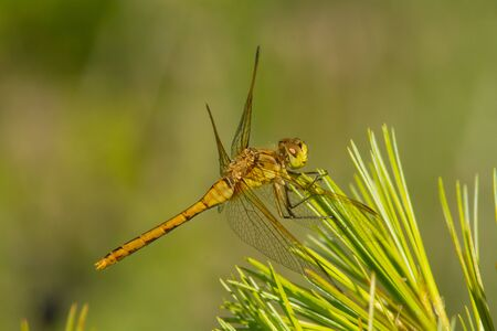 needles pine: Saffron-winged Meadowhawk perched on pine needles in a meadow. Archivio Fotografico