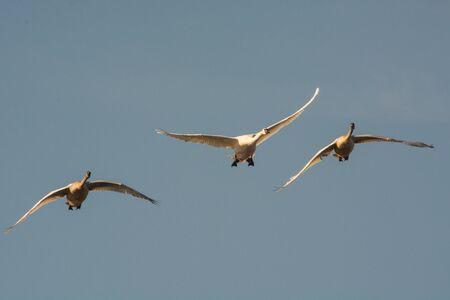 cisnes: Cisnes de trompetista