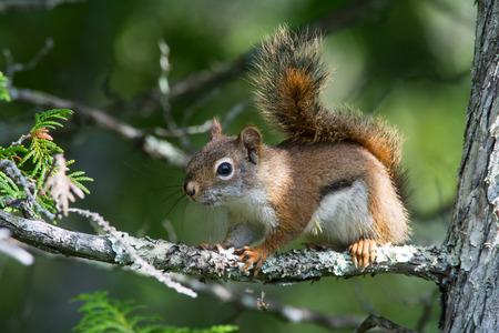 cedar tree: Red Squirrel perched in a Cedar Tree.