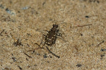 cicindela: Bronzed Tiger Beetle on the beach near Lake Michigan.