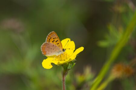 lycaena: Dorcas Copper feeding on nectar from a Shrubby Cinquefoil flower.