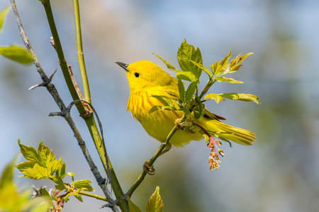 migrate: Yellow Warbler perched on a branch during spring migration in Wisconsin.