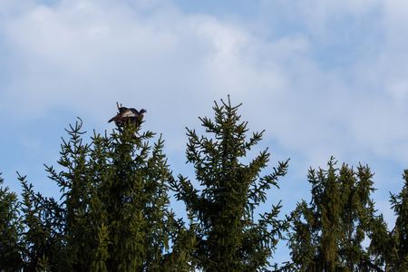 gobble: A Wild Turkey is perched atop a tall fir tree.