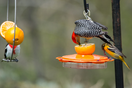 oriole: Red-bellied Woodpecker, Baltimore Oriole, and Rose-breasted Grosbeak feeding on oranges and grape jelly at a backyard feeder.