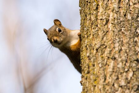 Red Squirrel on a tree in the forest in Wisconsin. Imagens