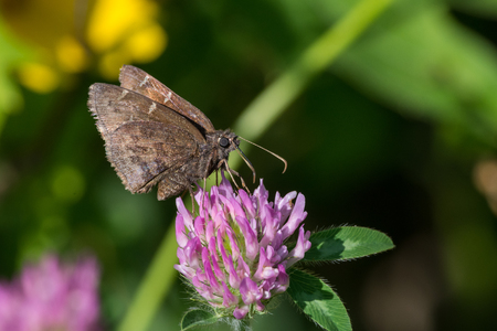 nectar: Northern Cloudywing Butterfly feeding on nectar from a clover plant.