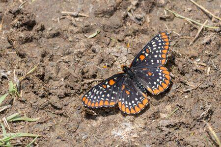 nutrientes: Baltimore Checkerspot mariposa conseguir los nutrientes de los minerales en un poco de barro.