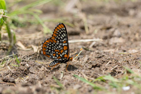 nutrientes: Baltimore Checkerspot Butterfly getting nutrients from minerals in some mud.