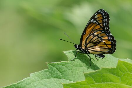 Viceroy Butterfly with an injured wing perched on a leaf. Stock Photo