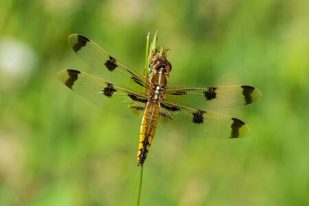 skimmer: Painted Skimmer Dragonfly perched on some grass in a prairie. Stock Photo